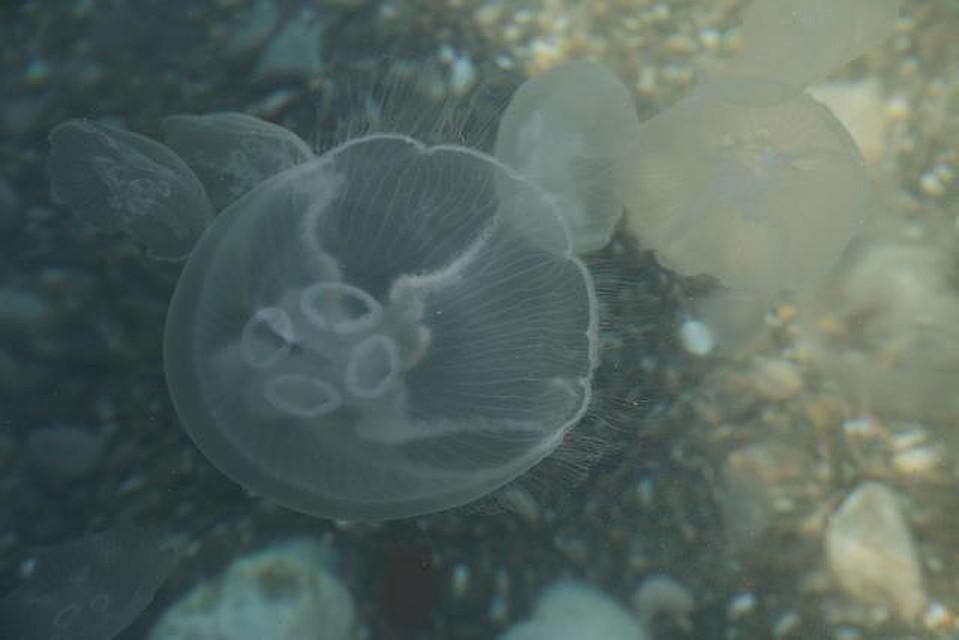 Ученые объяснили нашествие медуз в Крыму