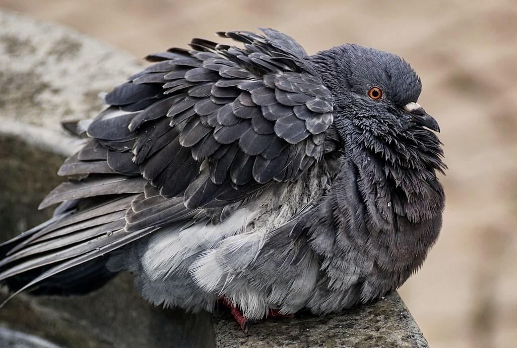 ЦРУ использовало голубей для шпионажа