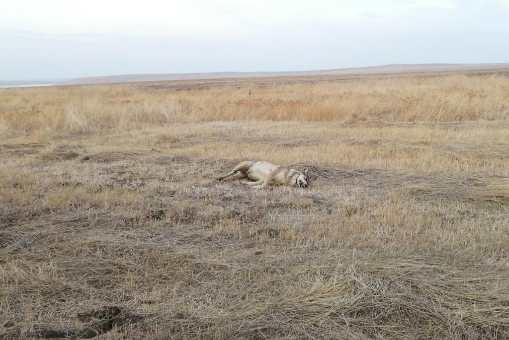 В Крыму нашли труп крупного волка с удавкой на шее