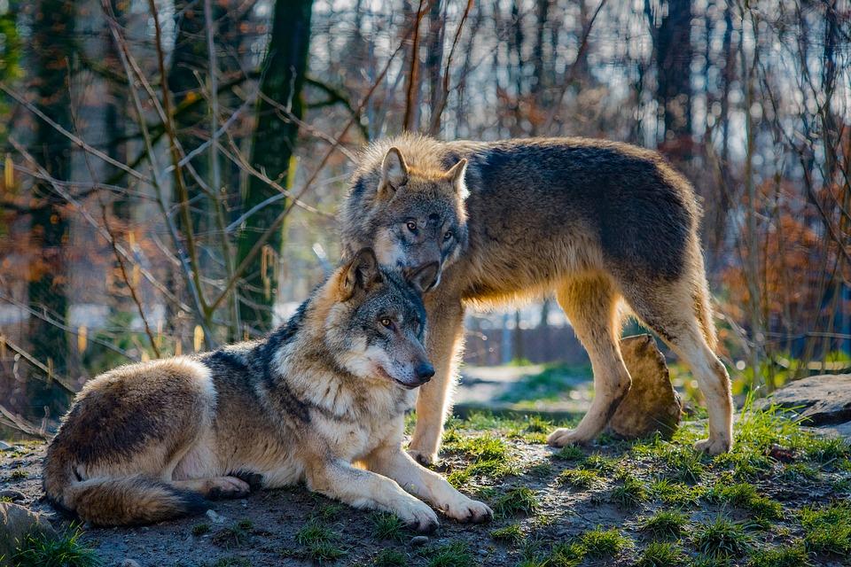 Под Симферополем волки напали на троих людей