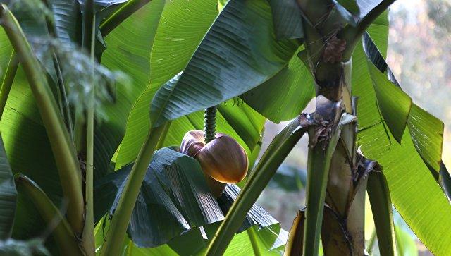 Аномально теплая осень в Крыму довела бананы до цветения