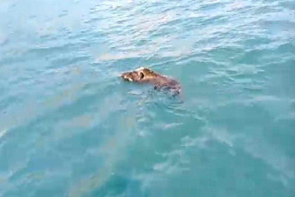 На крымском пляже на отдыхающих напал дикий кабан