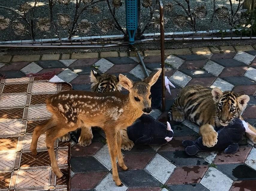 Львы и тигры вырастили детеныша косули в Крыму