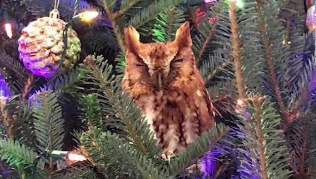 Семья неделю не замечала на наряженной елке живую сову