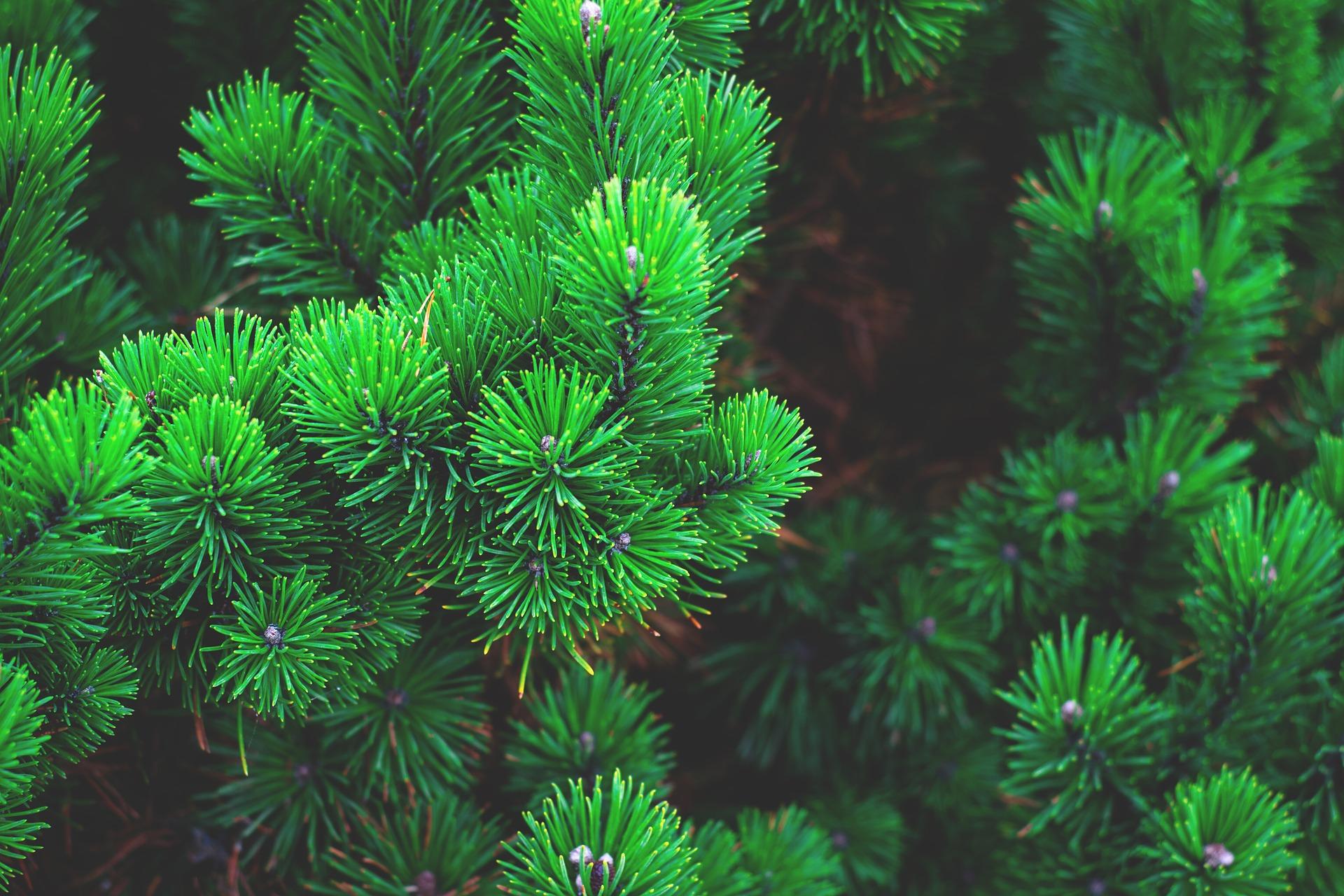 Где в Севастополе можно купить живую елку – адреса