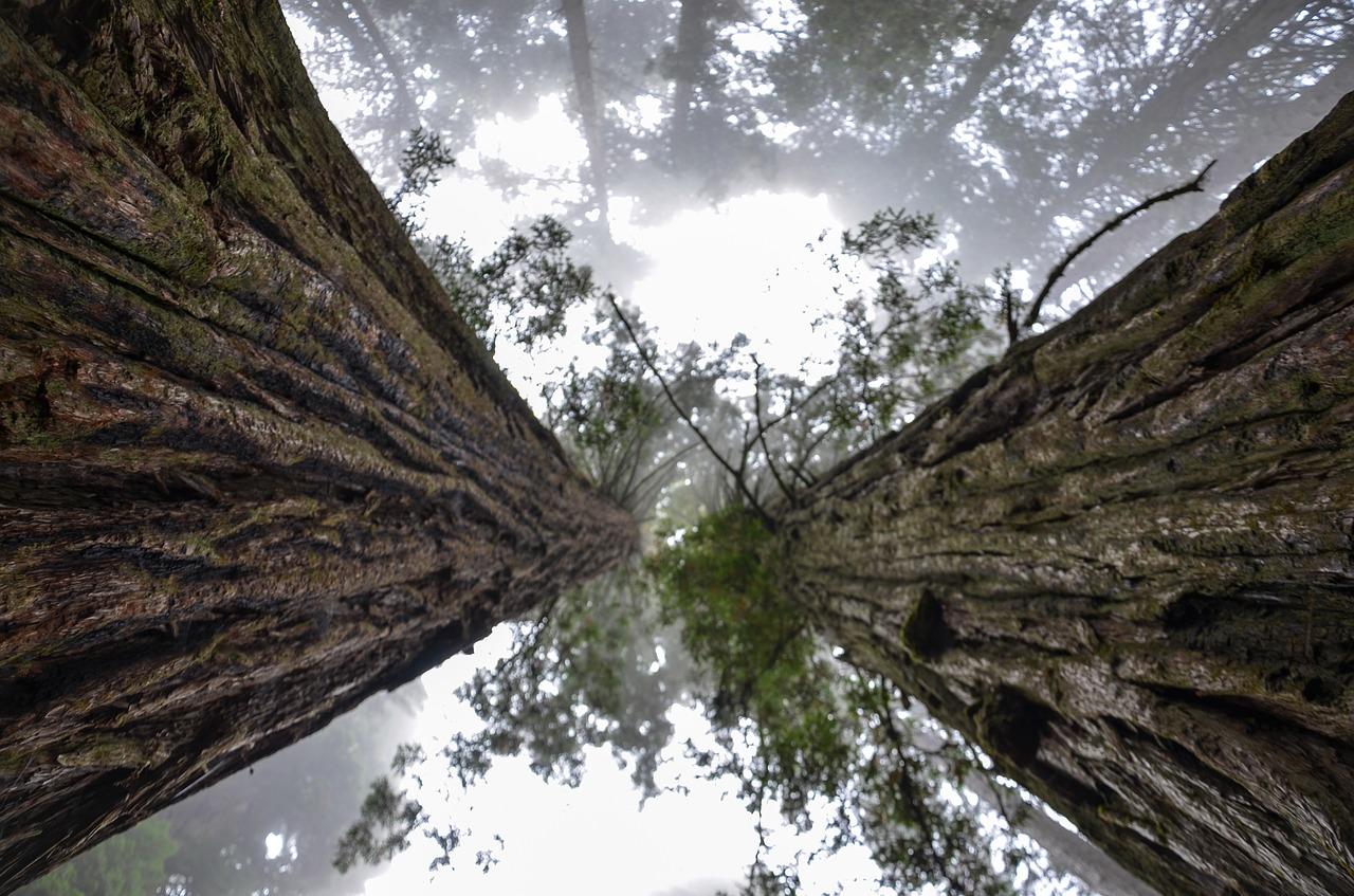 В Никитском ботсаду нарядят 11-метровую секвойю