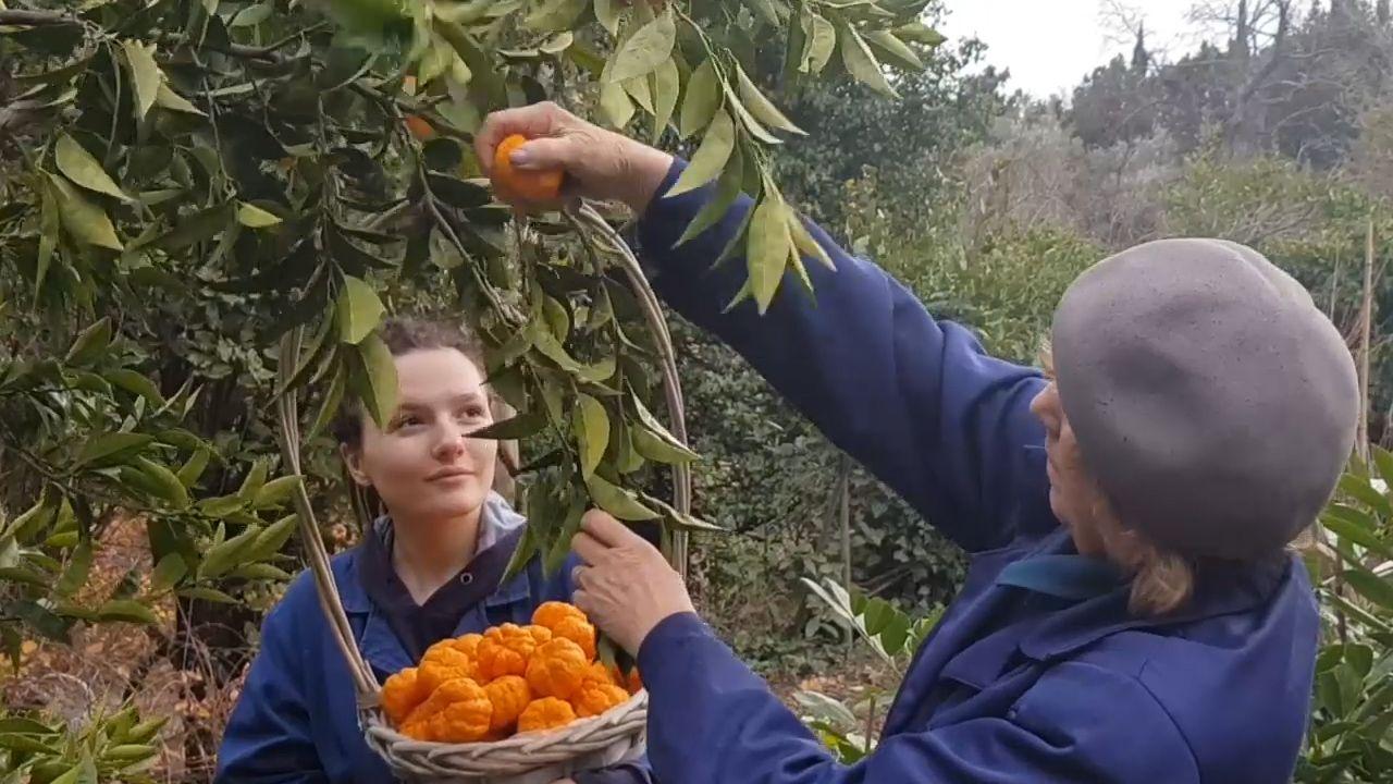 В Крыму собрали урожай с уникального грейпфрутового дерева