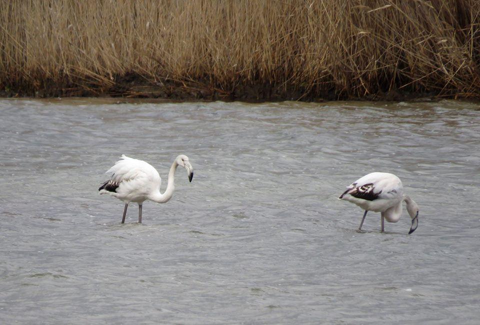 В Севастополе обнаружили зимующих фламинго