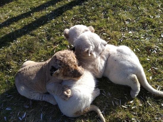 В «Тайгане» родились разноцветные львята