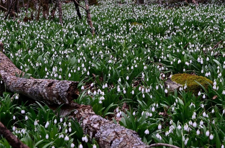 В горах Крыма расцвели поляны подснежников
