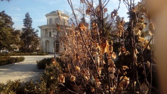 Высаженные в Севастополе магнолии завяли