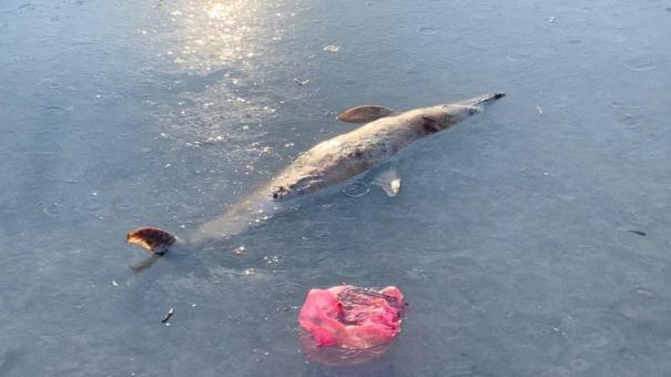 На набережной Балаклавы в море разлагается труп дельфина