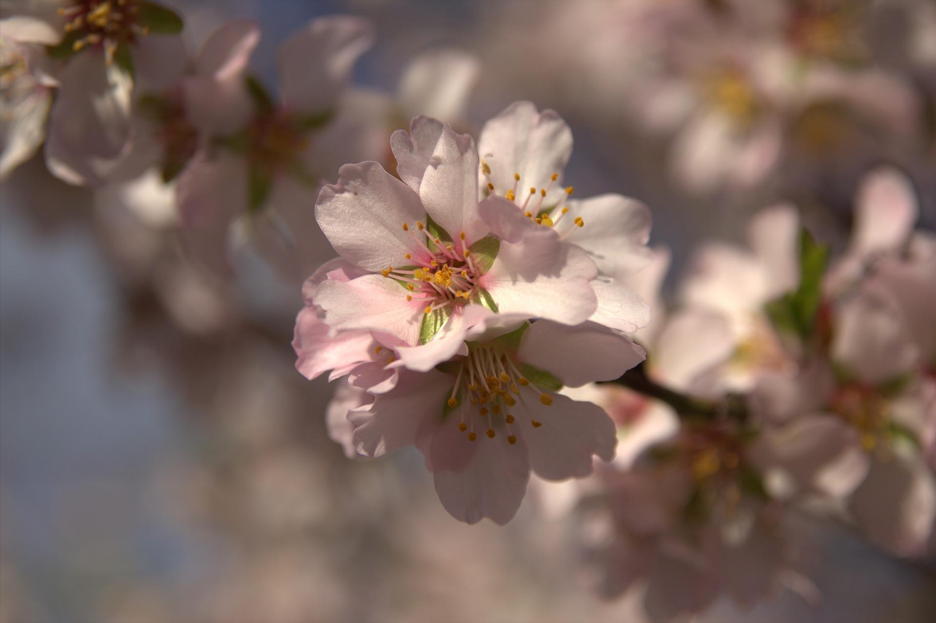 В Парке Победы высадят 75 деревьев миндаля