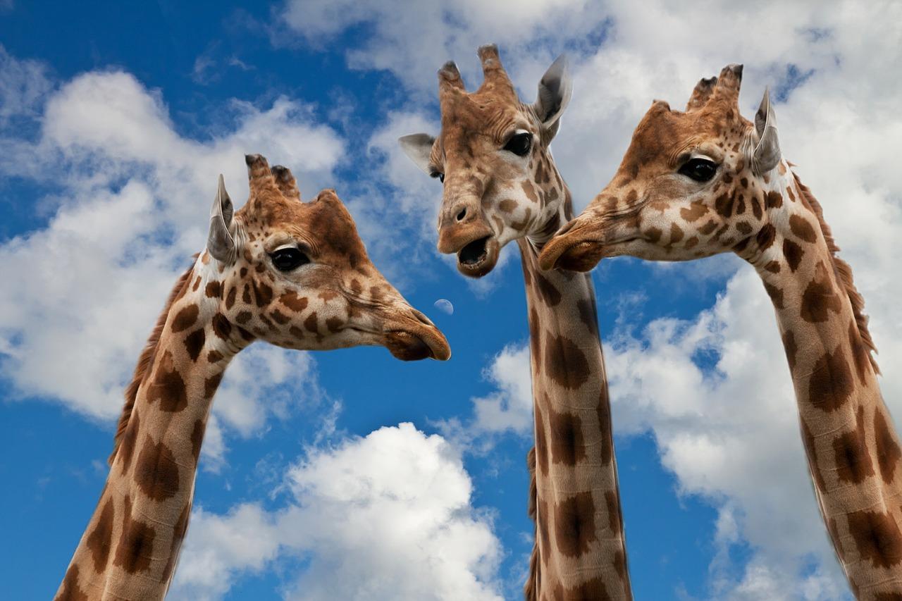 В Крым привезут десять жирафов из Африки