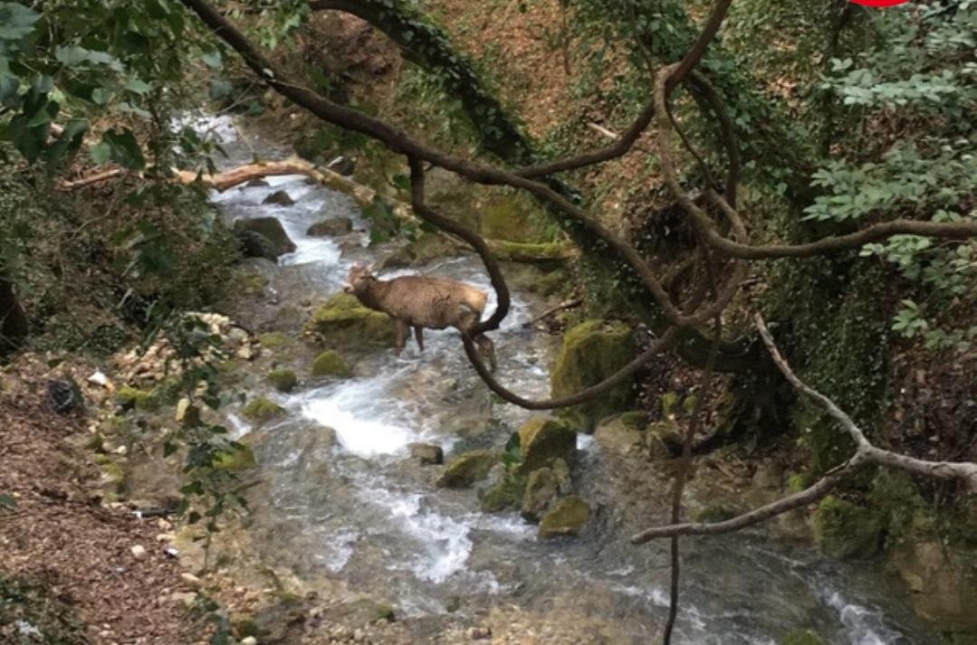 Под Ялтой олень попал в смертельную ловушку