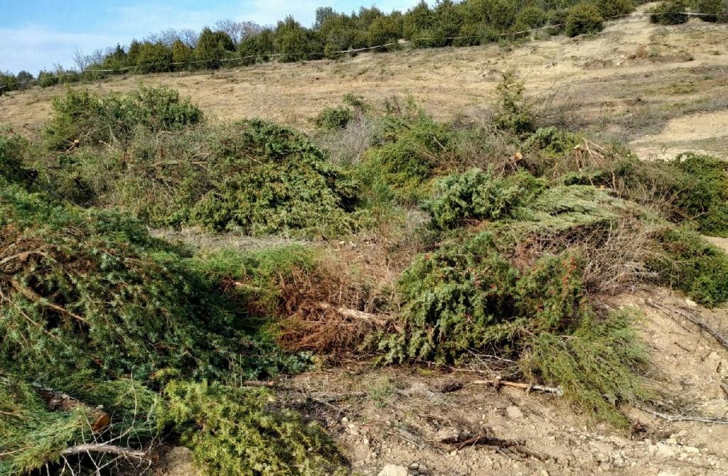 В Севастополе вырубили четыре гектара можжевельника