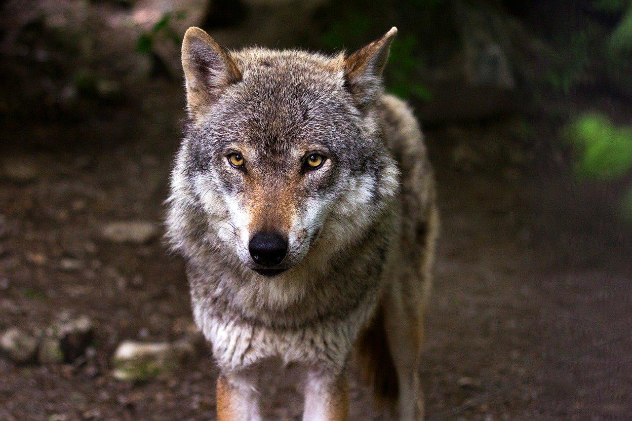 Стая волков разорвала в Крыму домашних коз