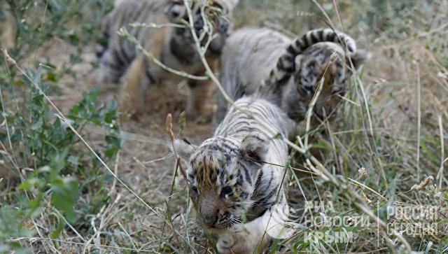 В Крыму родились краснокнижные амурские тигрята