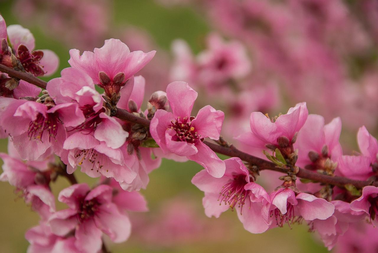 Персики, абрикосы, черешня: заморозки повредили 40% фруктовых садов в Крыму