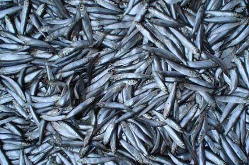 В Крыму на берег выбросились тысячи рыб хамсы