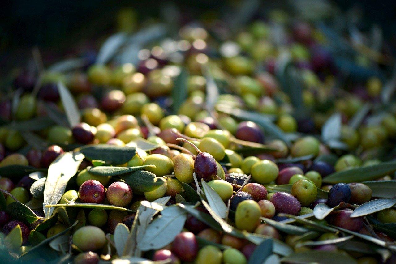 В Крыму получат первый промышленный урожай оливок для производства масла