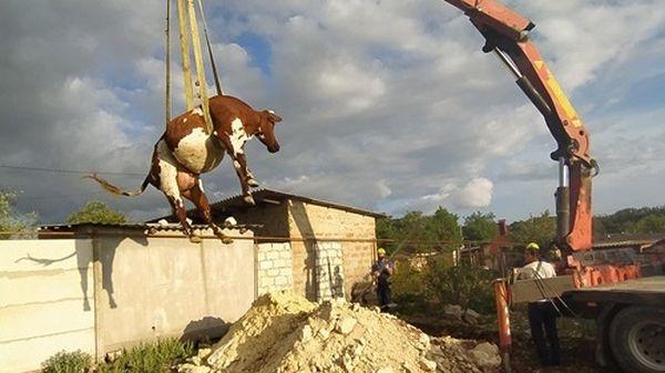 В Крыму автокраном доставали из выгребной ямы корову