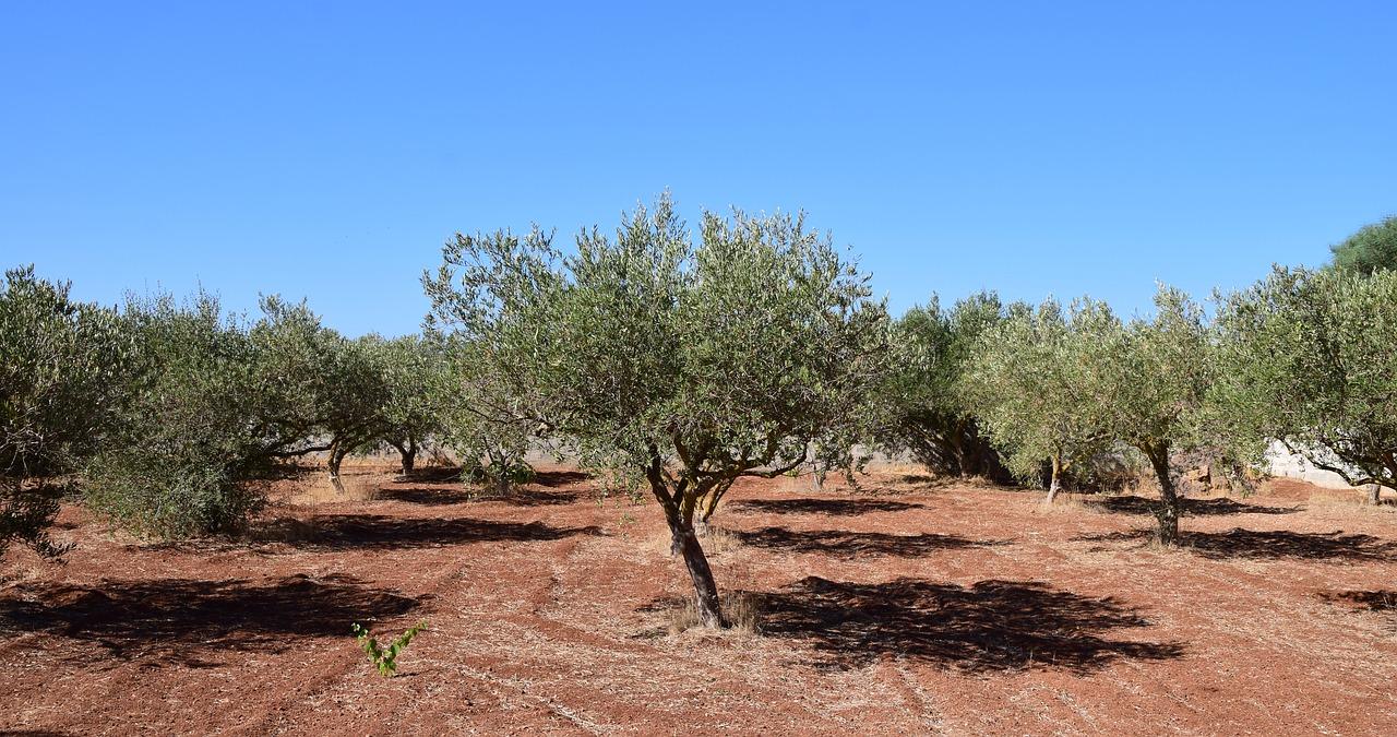 В Крыму строят первую в России теплицу для оливковой рощи