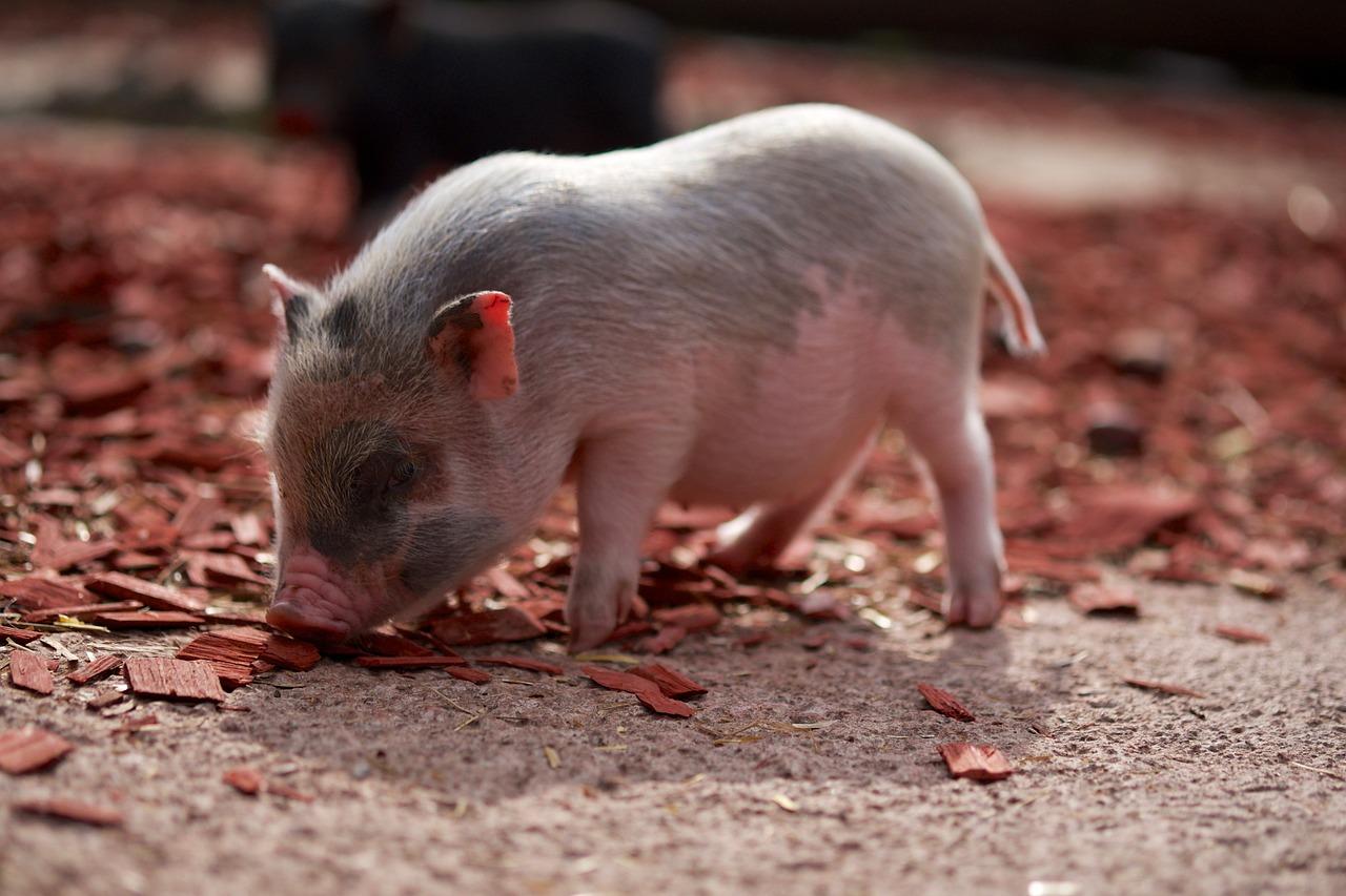 Планете угрожает новый штамм свиного гриппа из Китая