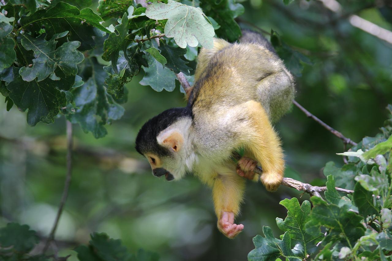 По Севастополю разгуливает обезьяна