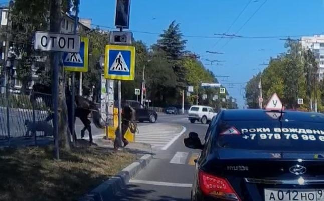 Лошадь на «зебре» повалила пешехода в Севастополе