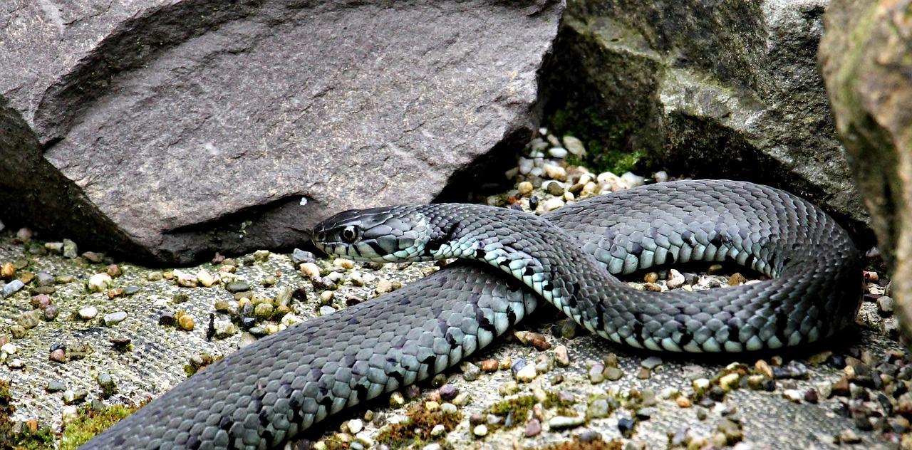 В Крыму участились случаи встреч со змеями