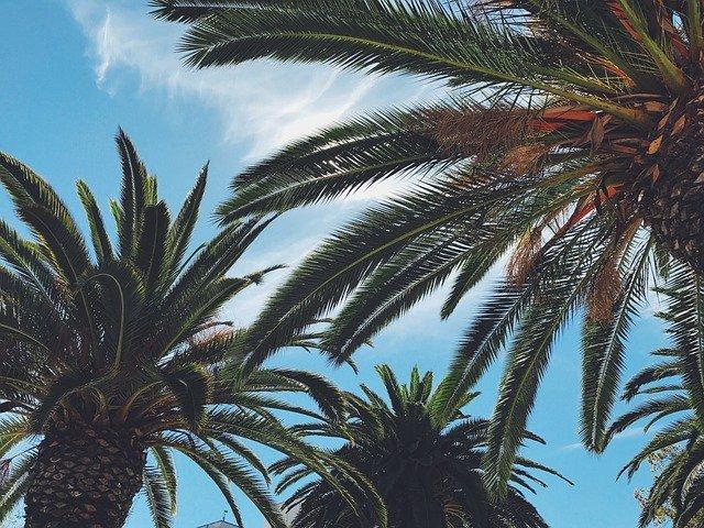 Пальмы на ЮБК и каштаны в Симферополе уничтожают вредители
