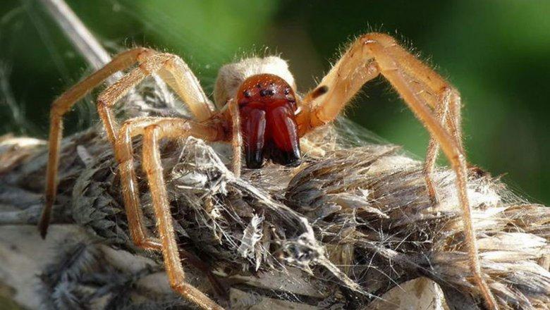 Жительница Кубани пострадала от укуса одного из самых ядовитых в мире пауков