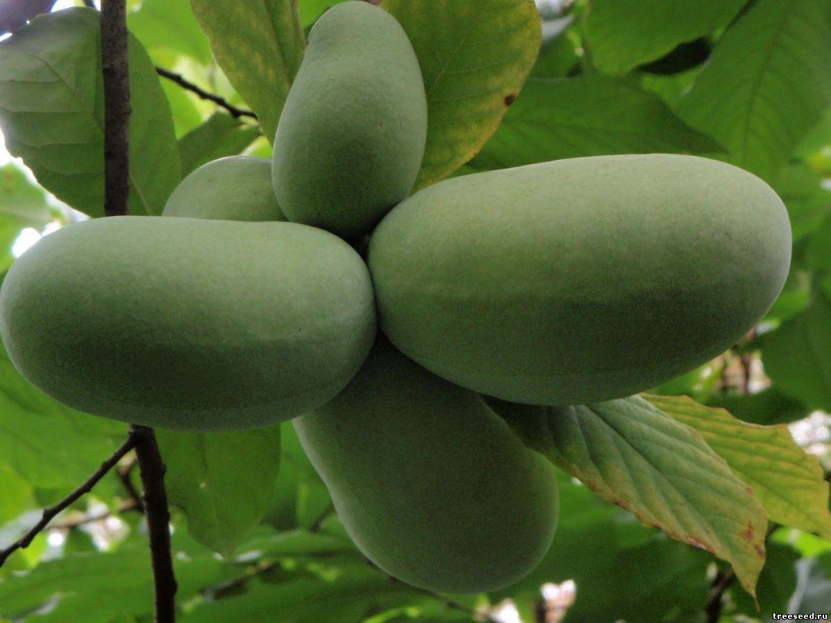 В Крыму будут выращивать экзотические плоды