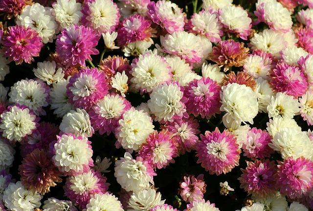 Никитский ботсад представил рекордную коллекцию хризантем