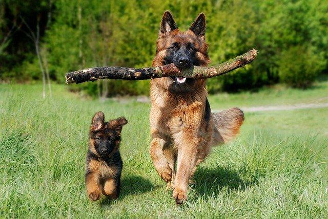 Владельцев собак крупных пород могут обязать проходить курсы кинологов