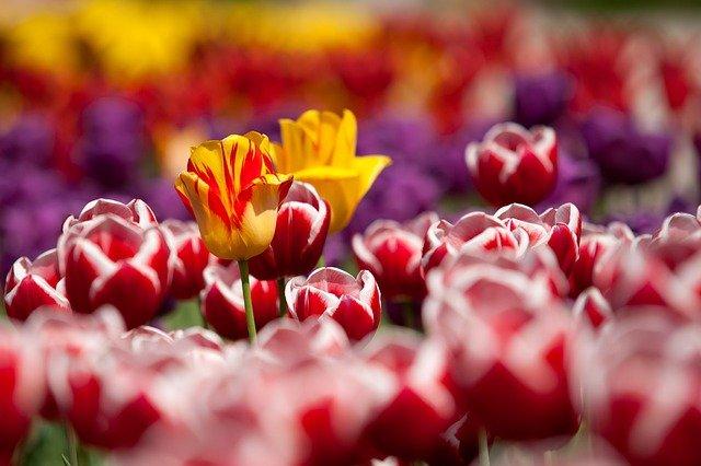В Севастополе продолжится круговорот тюльпанов за бюджетные миллионы
