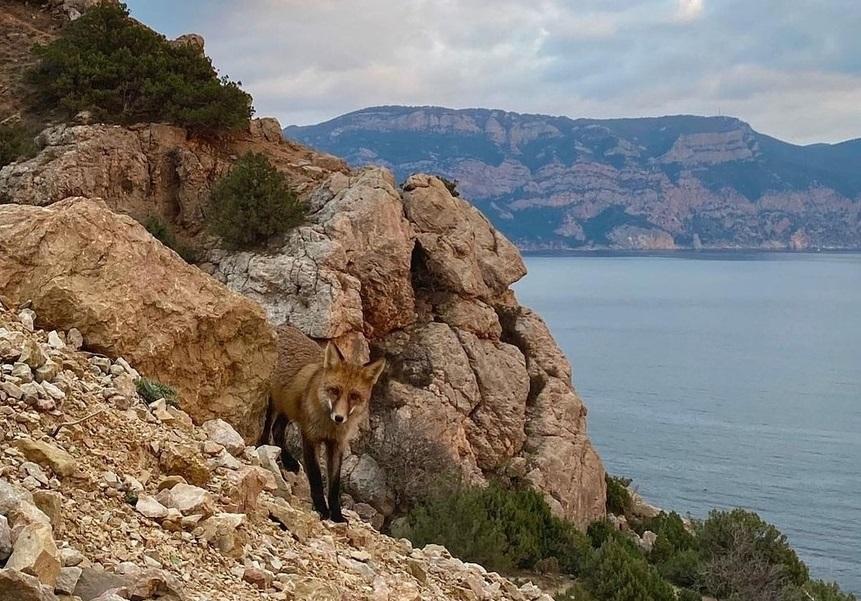К отдыхающим в Балаклаве вышла лисица