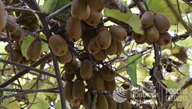 Кот Мостик собрал крымский урожай киви