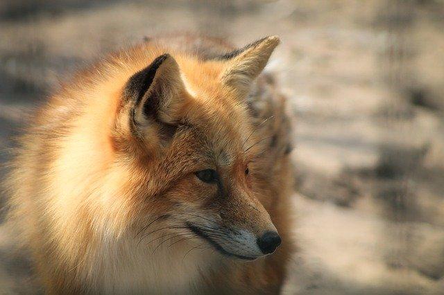 В Севастополе лисы чаще стали выходить к людям