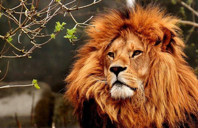 СМИ: в парке «Тайган» жестоко растерзали льва