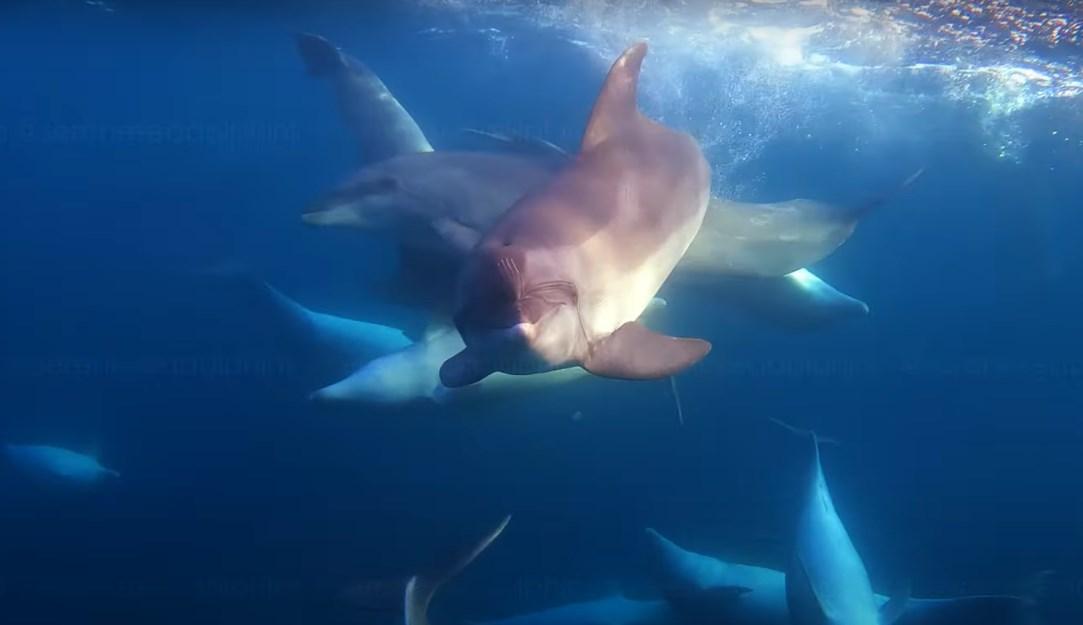 Охота дельфинов на кефаль: у берегов Крыма сняли уникальное подводное видео