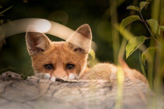 Севастопольская лисица разогнала бродячих котов во дворах
