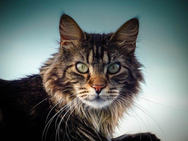 Названы самые популярные у россиян в 2020 году породы кошек