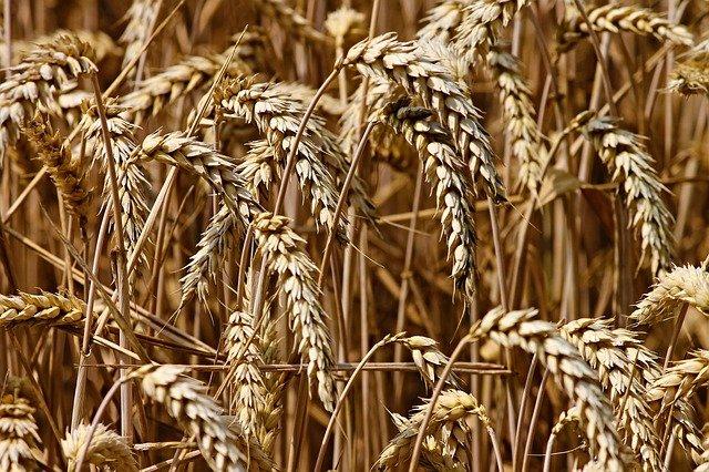 В Крыму мошенник обманным путем завладел пшеницей