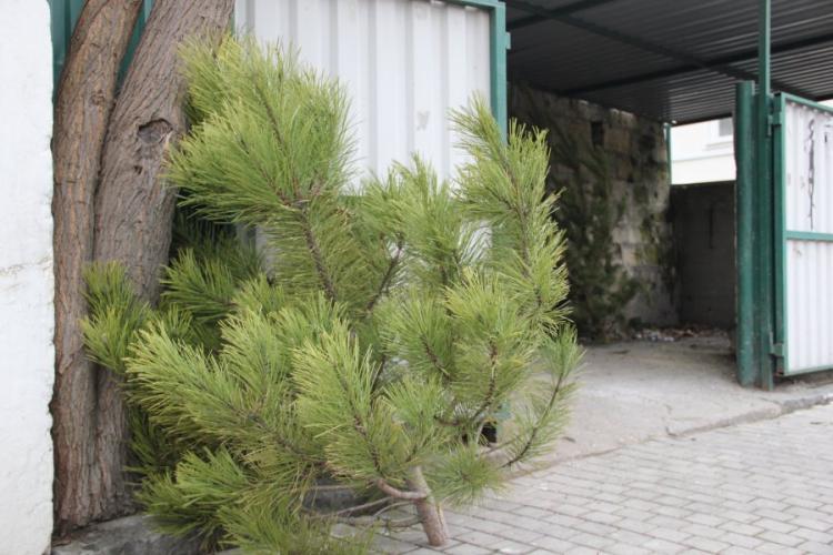 Куда отнести новогоднюю елку в Севастополе для переработки