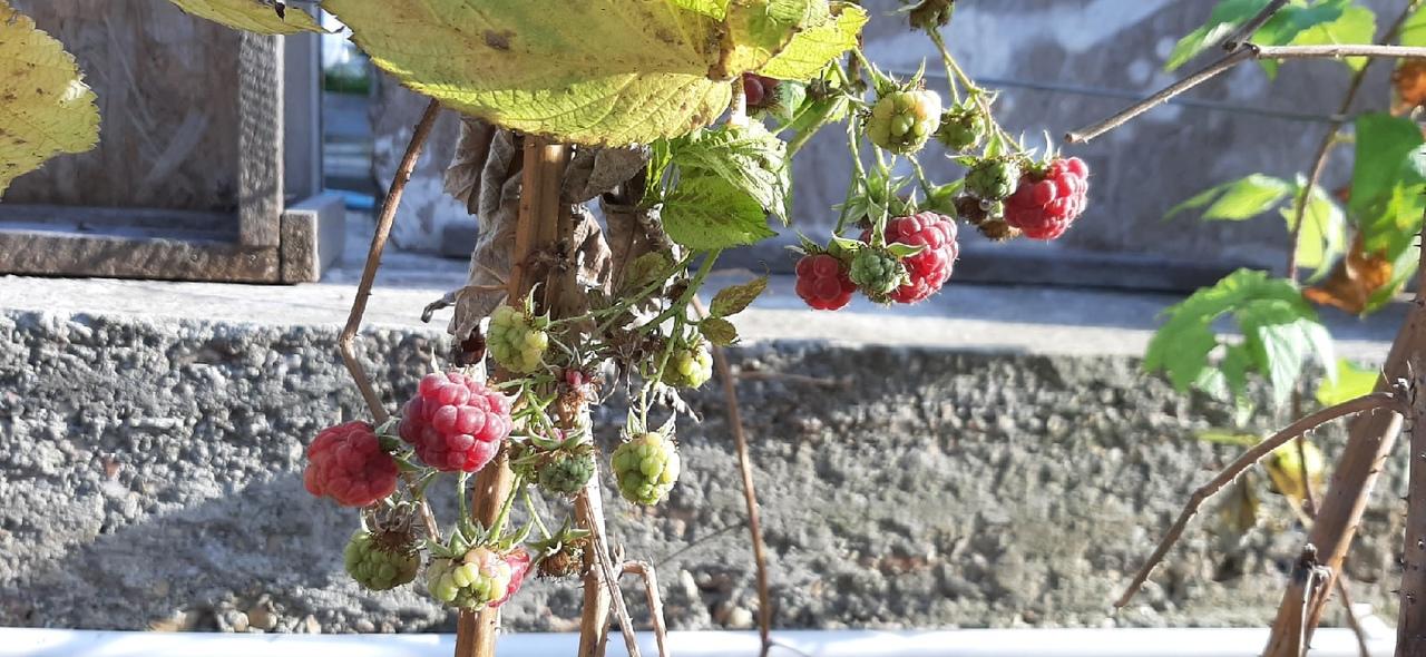 Севастопольцы в январе собирают спелую малину