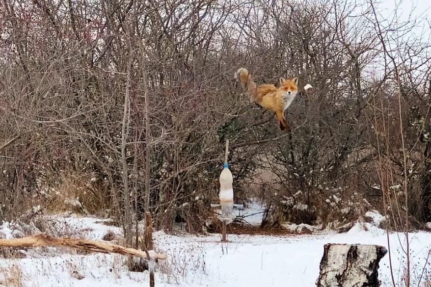 Крымская лиса залезла на дерево за салом
