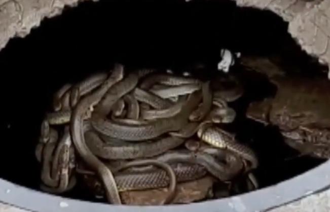 Крымские коммунальщики обнаружили в канализационном люке змеиное гнездо
