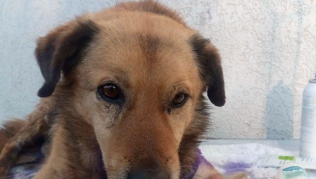 Недавно спасенный пес в Симферополе идет на поправку (фото)